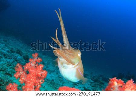 Pharaoh Cuttlefish - stock photo