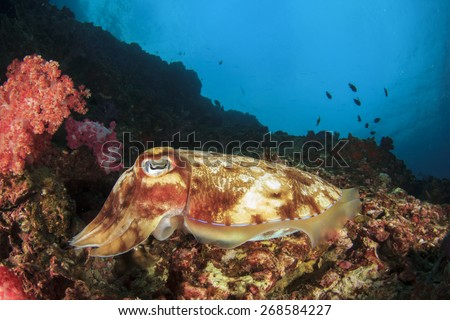 Pharaoh Cuttlefish on coral reef - stock photo