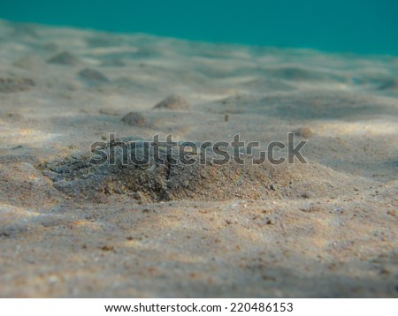 Pharaoh cuttlefish (Sepia pharaonis) hidden at sandy sea bottom underwater, selective focus on cuttle - stock photo