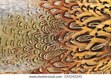Pheasant feather  - stock photo