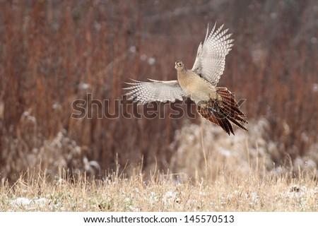 Pheasant flying - stock photo