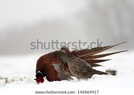 Pheasant in winter - stock photo