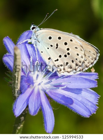 Phengaris ( Maculinea ) alcon macro photography / alcon blue butterfly - stock photo
