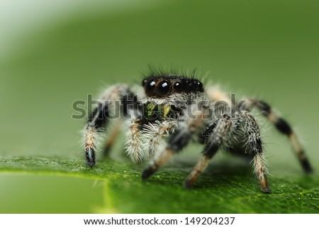 phidippus regius jumping Spider - stock photo