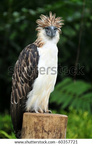 Philippine Eagle also known as Monkey-eating eagle - stock photo