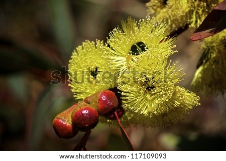 Philips River Gum Eucalyptus in bloom with flowers and blossoms. Eucalyptus grossa - stock photo