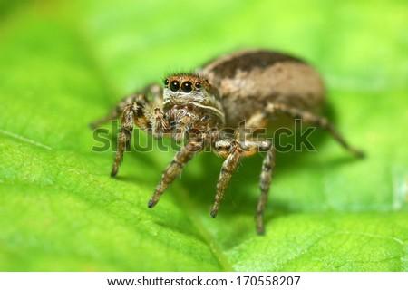 Fasciata Spider Fasciata Jumping Spider