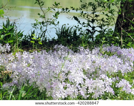 Phlox divaricata flowers in forest on the banks of the Potomac River near Washington DC, 20 April 2016 USA                                - stock photo