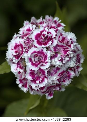Phlox in Bloom - stock photo