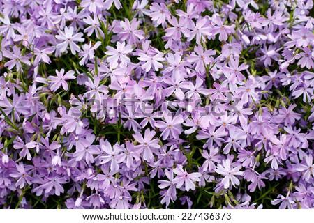 Phlox subulata blossoms - stock photo