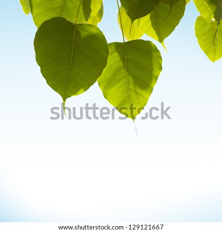 pho or bodhi leave on white & blue background. - stock photo