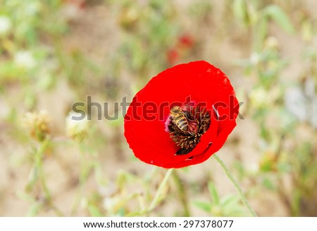 Photo beautiful wild red poppies with bee on a spring meadow. - stock photo