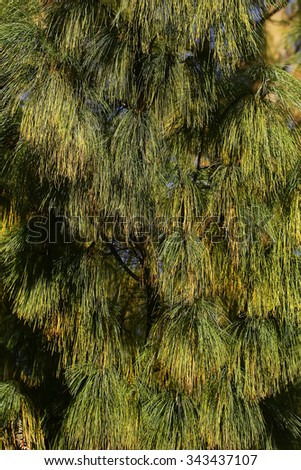 Photo closeup of beautiful evergreen thick thorny green needles on downy fir tree pine twigs with cones deal apples over coniferous background, vertical picture  - stock photo