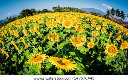 Photo field of sunflowers (Fisheye lens) - stock photo