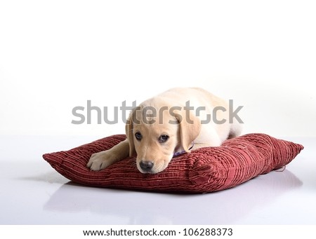 Photo:  Labrador Retriever Puppy white - stock photo