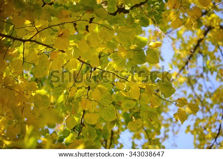 Photo low angle view of beautiful sun-illuminated autumn green yellow heavy foliage on branches of golden-leaved trees over blurred bright blue sky background, horizontal picture - stock photo