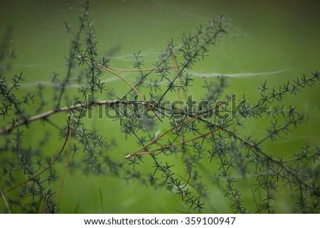Photo needles trees macro with web spyder . - stock photo