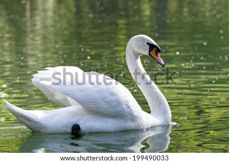 Photo of a beautiful white swan in the lake - stock photo