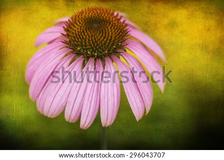 Photo of a blooming purple coneflower placed on a beautifully warm textured background.. Beautiful perennial flower with a long bloom time.  - stock photo