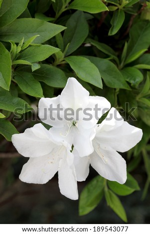 photo of a blooming white azalea flowers - stock photo