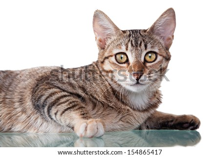 Photo of a brown striped kitten laying down, isolated on white background. Studio shot. - stock photo