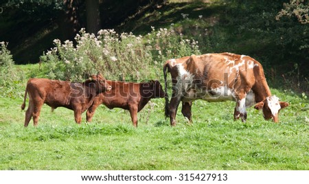 Photo of a cow and her calves - stock photo