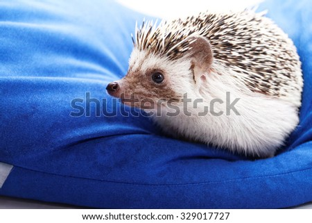 Photo of a cute hedgehog on a blue beanbag - stock photo