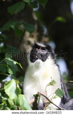 Photo of a Diana Monkey (Guenon) - stock photo
