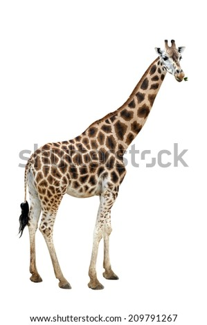 Photo of a giraffe isolated over white - stock photo