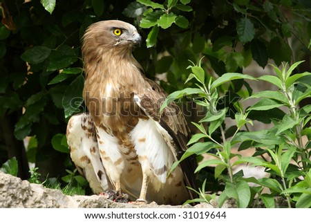 photo of a Short-toed Eagle,Circaetus gallicus - stock photo