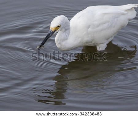 Photo of a Snowy Egret Wading and Fishing for shrimp taken at a wildlife refuge in Cape Cod Massachusetts. - stock photo