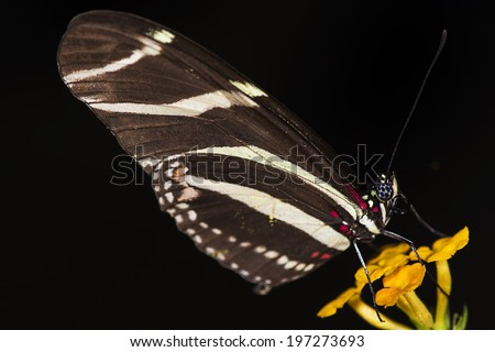 Photo of a Zebra Longwing (Heliconius charitonius) butterfly of the Nymphalidae family.  - stock photo