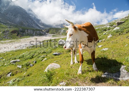 photo of beautiful cow grazing at alpine meadows - stock photo