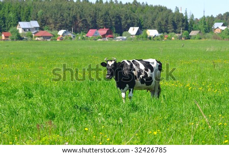 Photo of black and white cow standing in the field on a sunny summer day. There is village and forest behind - stock photo
