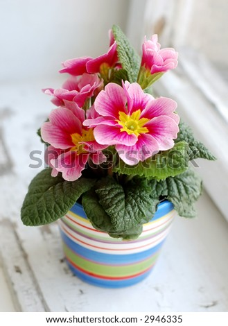 Photo of colorful flower in flowerpot at window. - stock photo