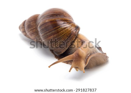 Photo of curious snail on white background - stock photo