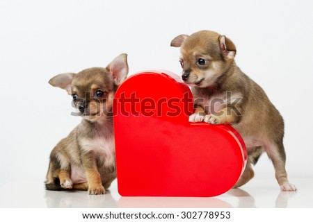 photo of cute puppies Chihuahua with red heart - stock photo