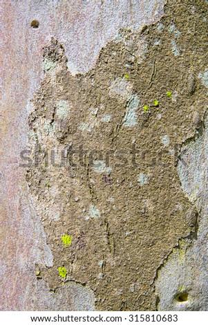 Photo of Eucalyptus bark with few moss - stock photo