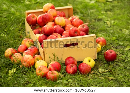 photo of freshly picked red apples in a wooden crate on grass in sunshine light. - stock photo