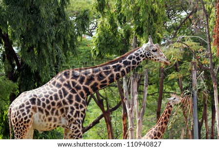 Photo of graceful and gentle mature adult giraffe and a younger giraffe eating its vegetarian food. Giraffe is mostly found in african forests and these gentle gaints have long necks and legs - stock photo