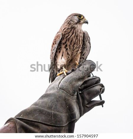 Photo of Kestrel sitting on falconers hand isolated on white background - stock photo