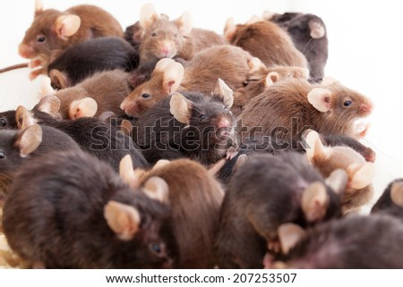Photo of little brown and black laboratory mouses - stock photo