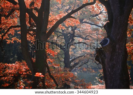 Photo of picturesque sun-illuminated oak grove wood of old aged broad-crowned golden-leaved trees with colorful red heavy foliage on autumn timber land background, horizontal picture - stock photo