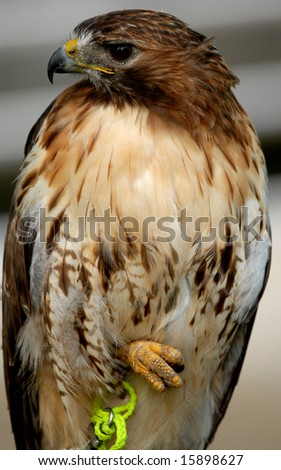Photo of tethered Red Tailed Hawk - stock photo