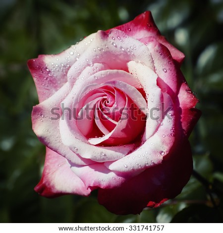 Photo of the Single Rose Flower Over natural Background - stock photo