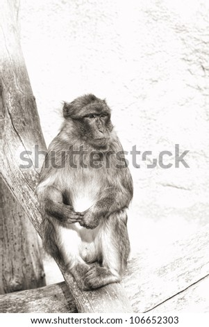 photo of the thinking monkey (monochrome) - stock photo