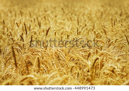 Photo of the Wheat Field Golden Background - stock photo