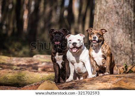 photo of three beautiful stafford bull terrier posing outside - stock photo