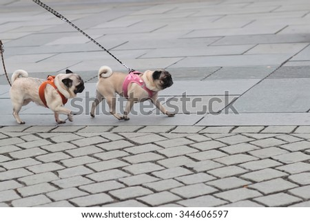 Photo of two breed dogs pugs with wrinkly short-muzzled faces curled tails fawn coats and muscled bodies walked on lead along flag-stone pavement on grey urban landscape background, horizontal picture - stock photo