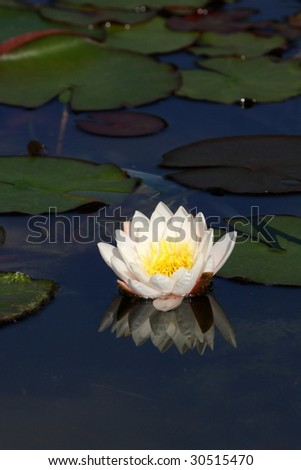 photo of water liliy - stock photo